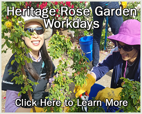 Volunteers pruning roses